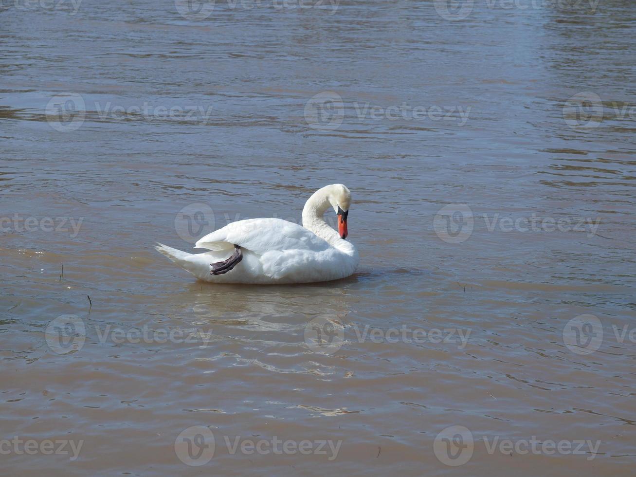 pássaro cisne em uma lagoa foto