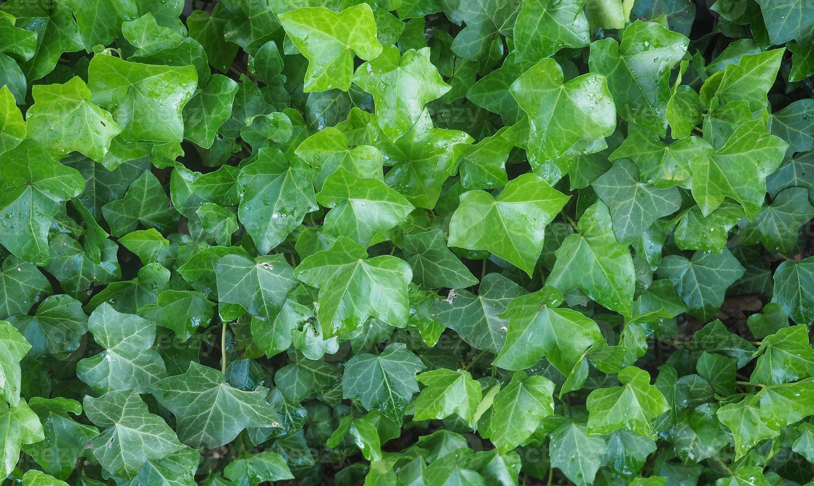 planta ivy hedera foto