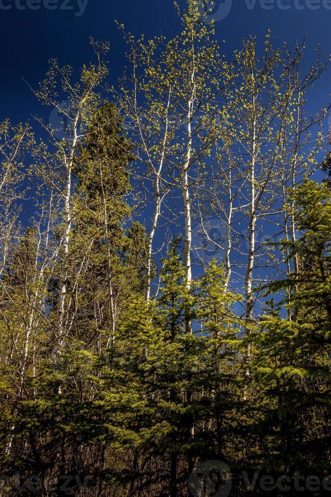 árvores e trilhas em alberta, canadá foto
