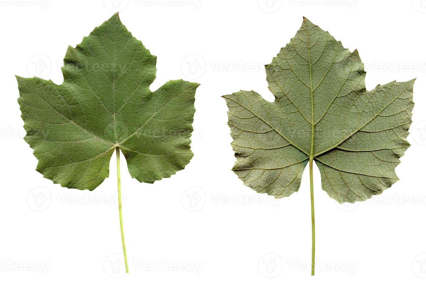 folha de vitis isolada foto
