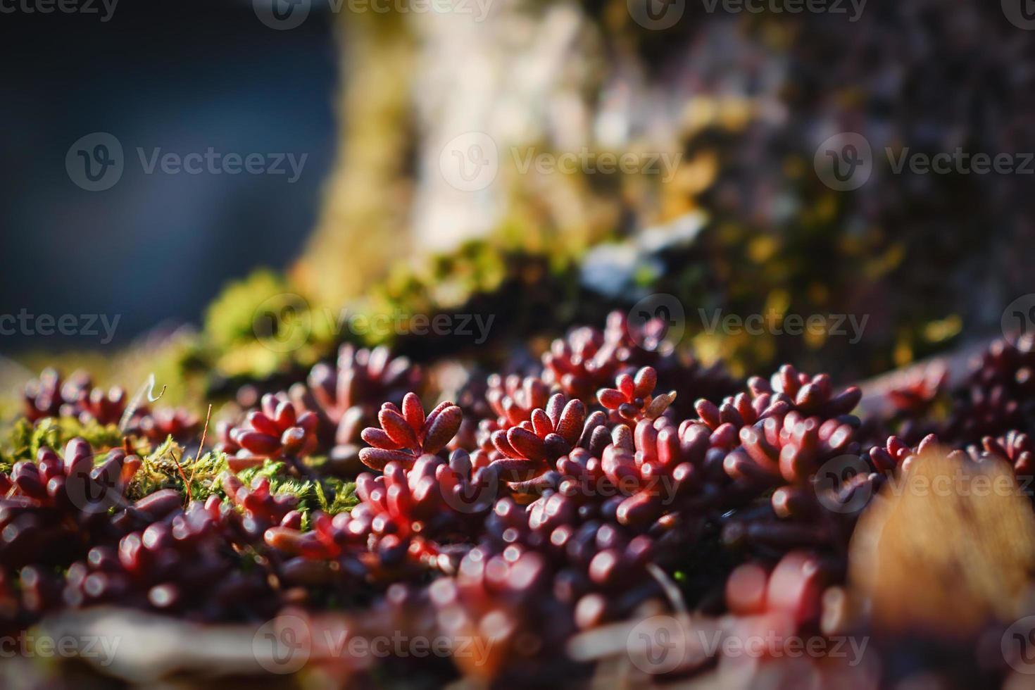 Suculenta suculenta crescendo no chão perto de uma árvore de fundo bokeh foto