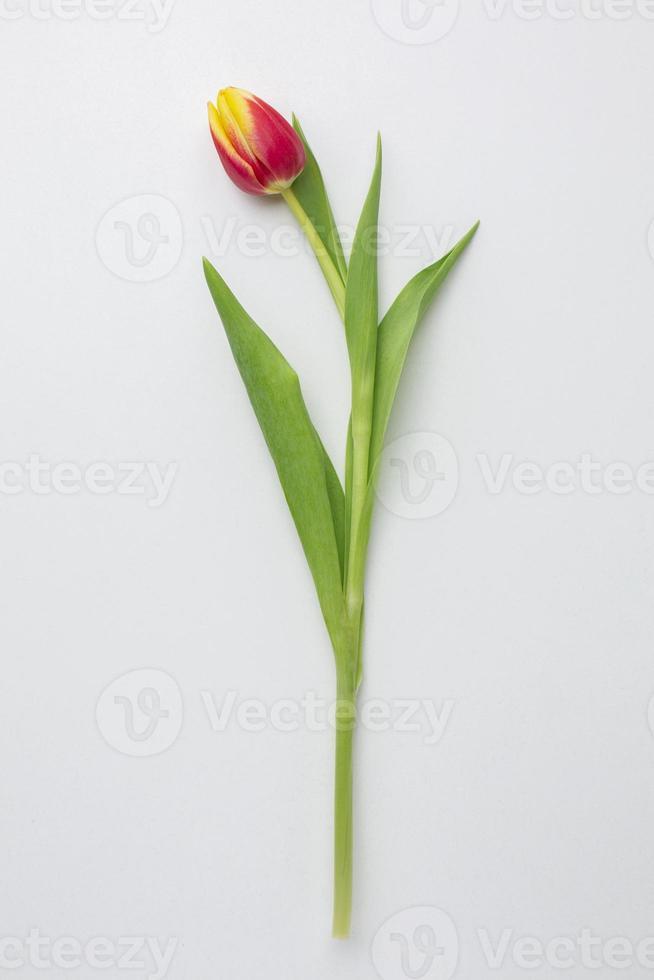 tulipa em fundo branco foto