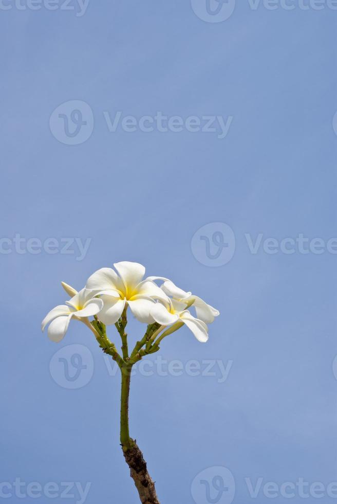plumeria branca no fundo do céu azul foto