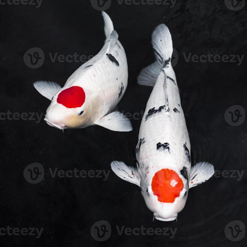 peixes koi em fundo preto foto
