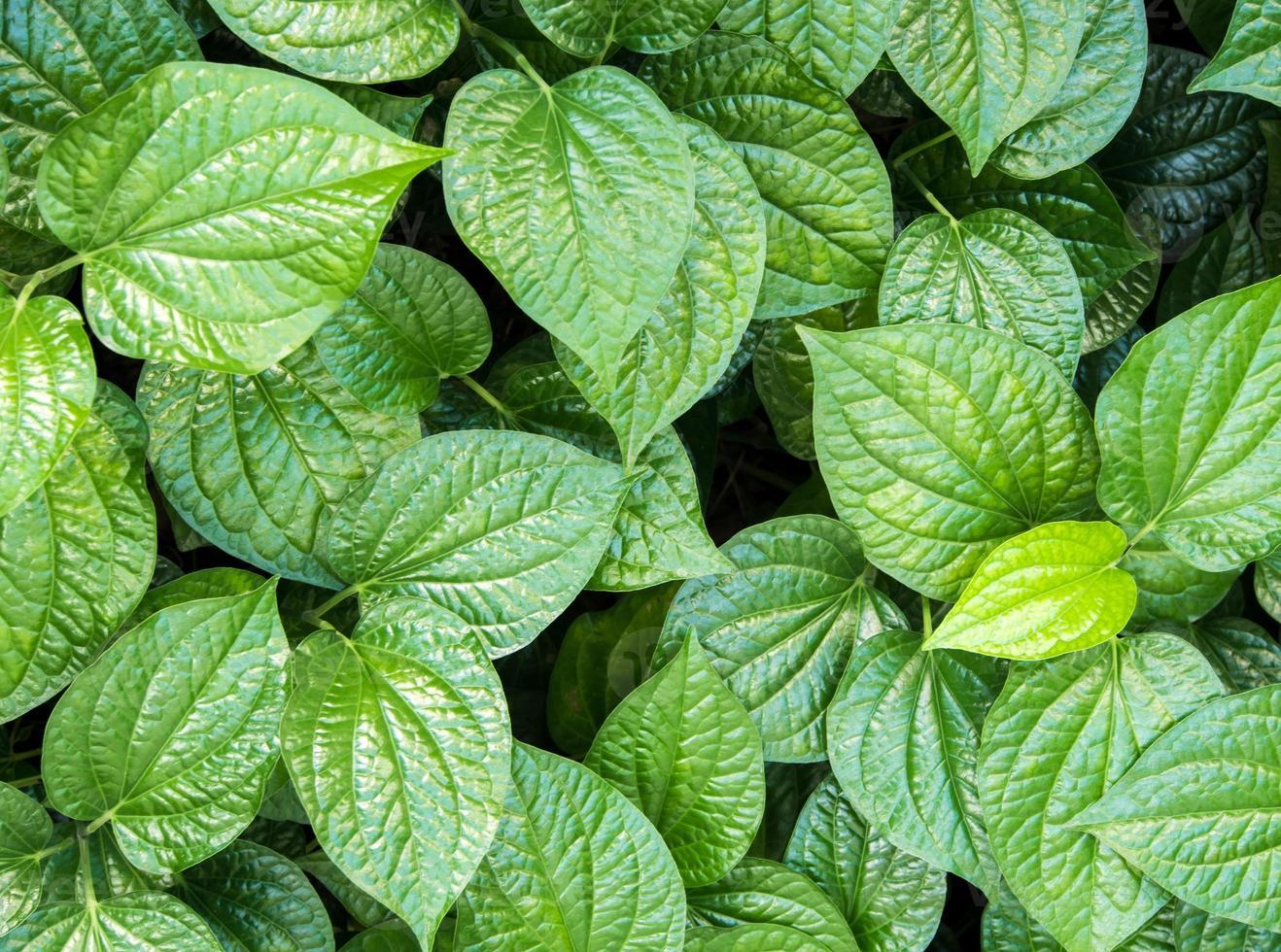 folhas de piper sarmentosum, fundo de erva foto