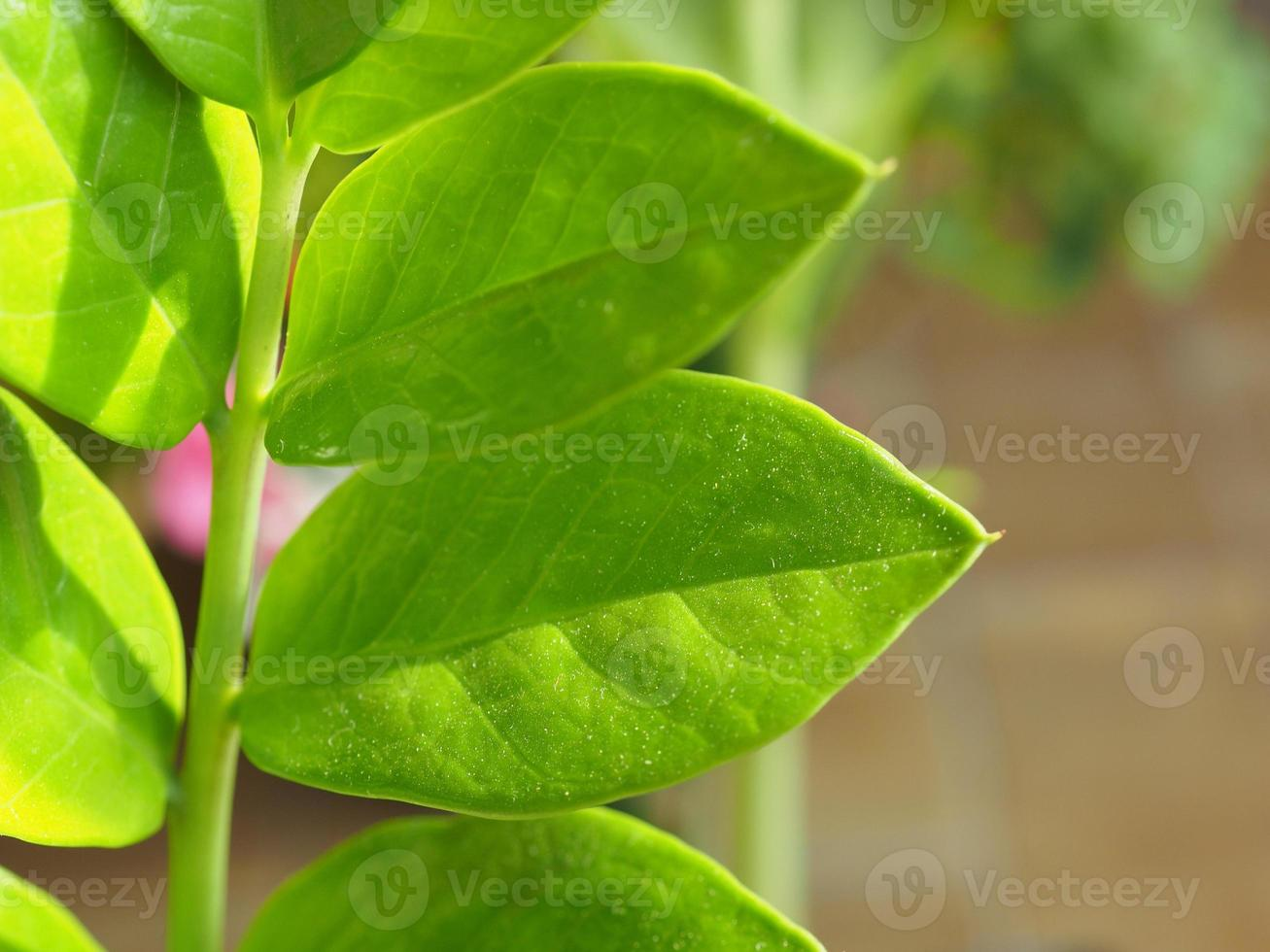 planta zamia também conhecida como folha zamia furfuracea foto