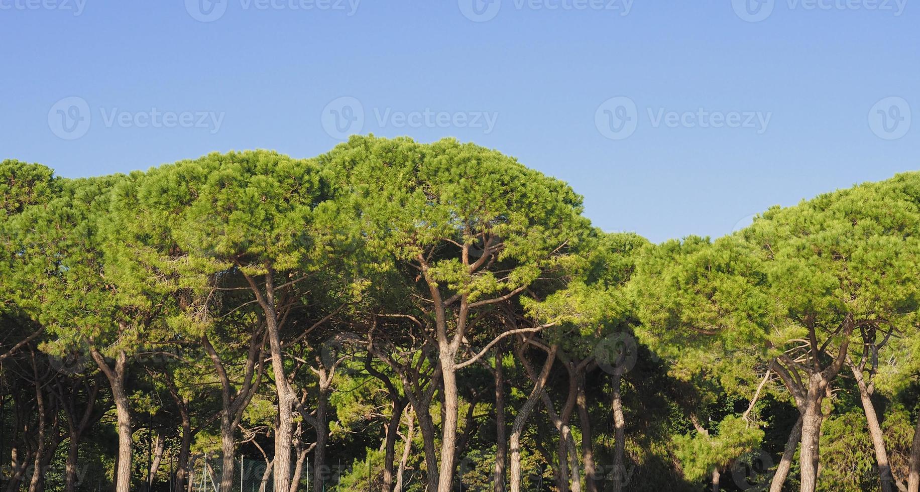 pinheiro bravo também conhecido como pinus pinaceae foto