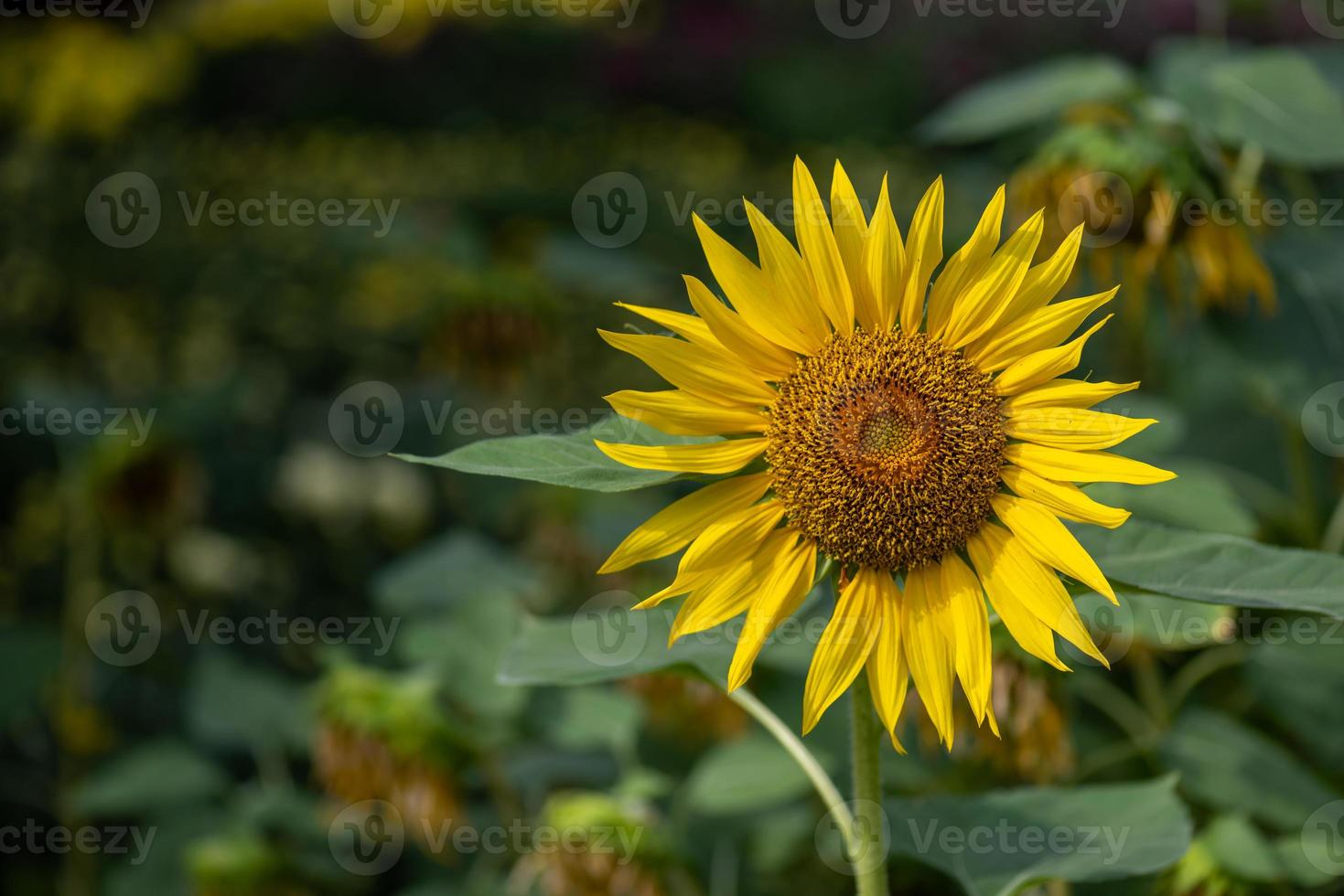 um girassol amarelo em plena floração no campo foto