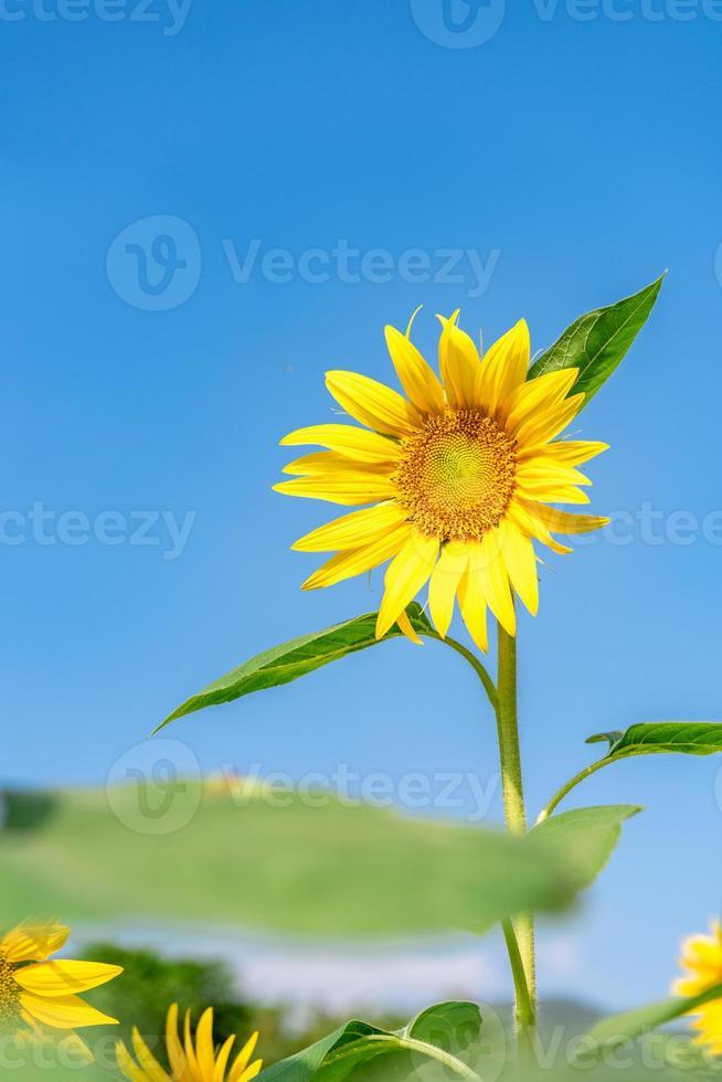 um girassol amarelo em plena floração sob o céu azul foto