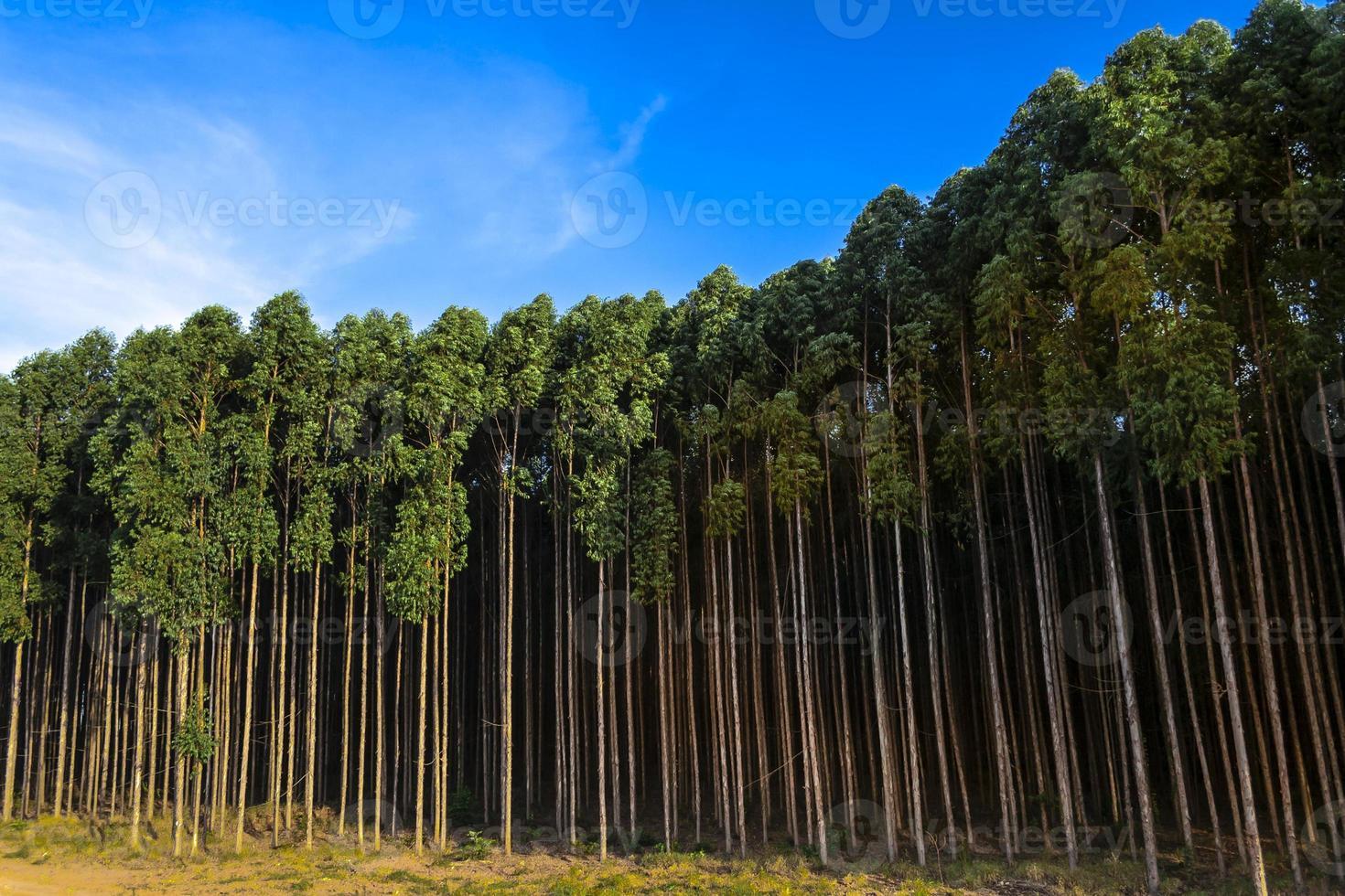 floresta plantada com eucalipto em fazenda no estado de são paulo, brasil foto