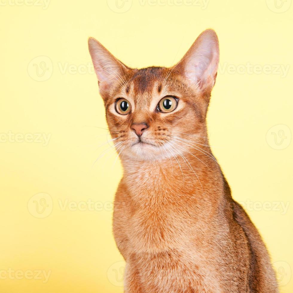 gato abissínio foto