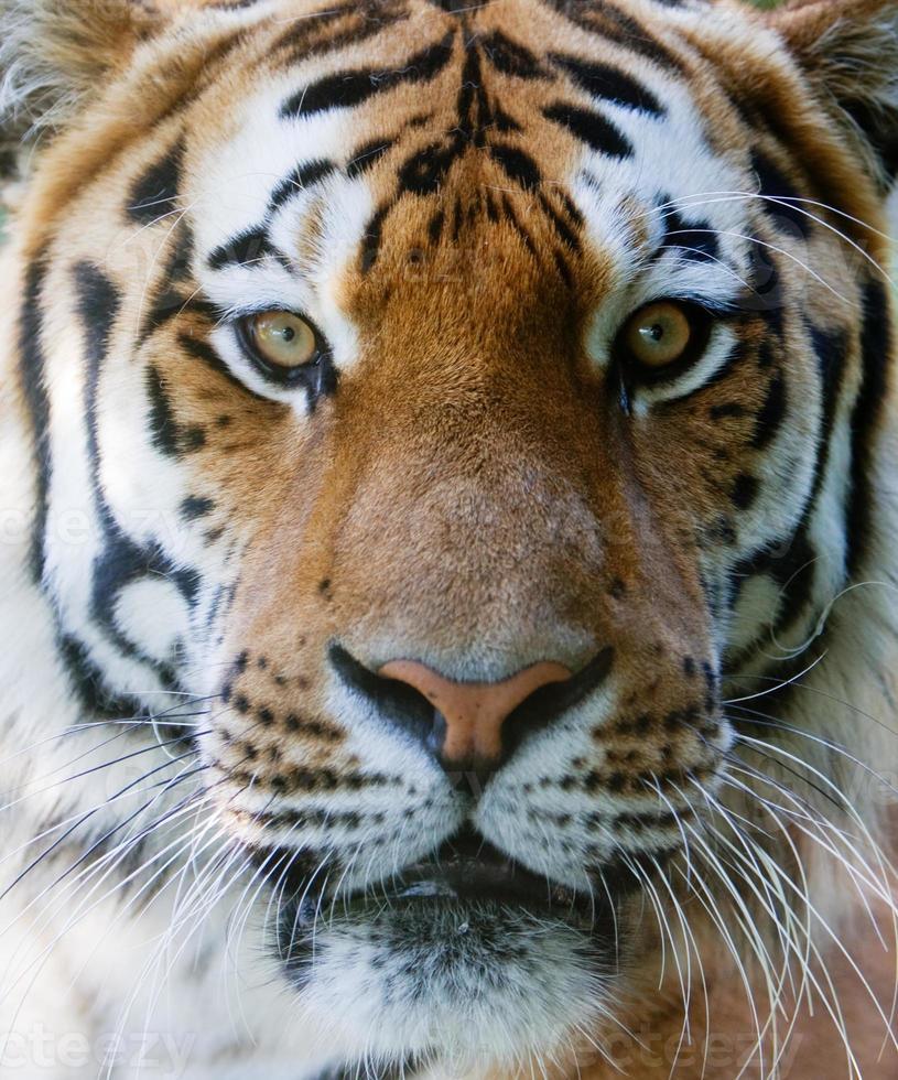 cara de tigre selvagem foto