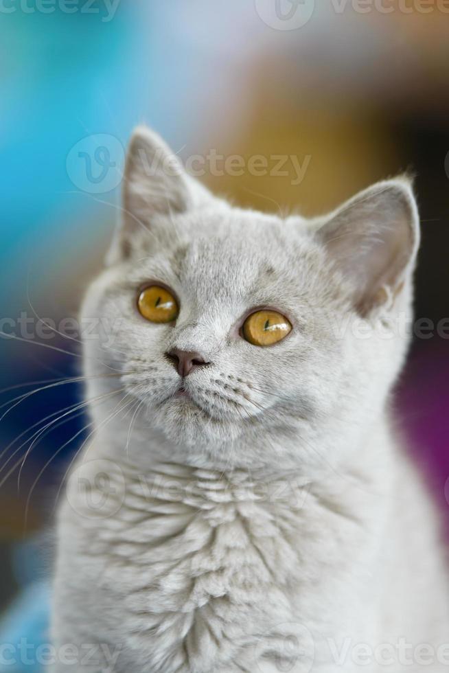jovem gato britânico foto