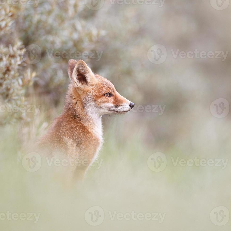filhote de raposa vermelha foto