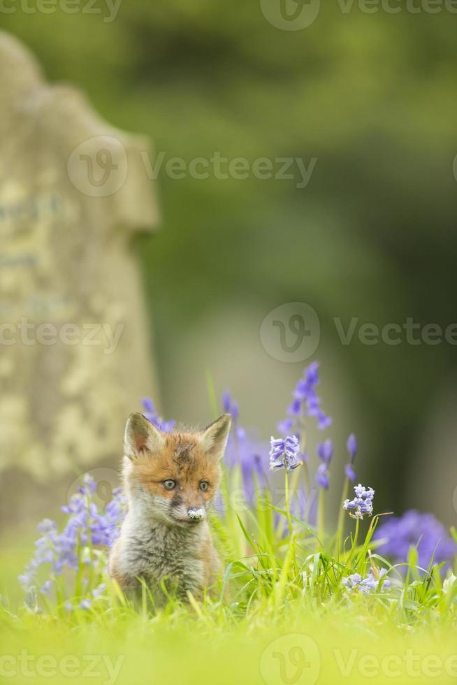 filhote de raposa em sinos azuis - vulpes vulpes foto
