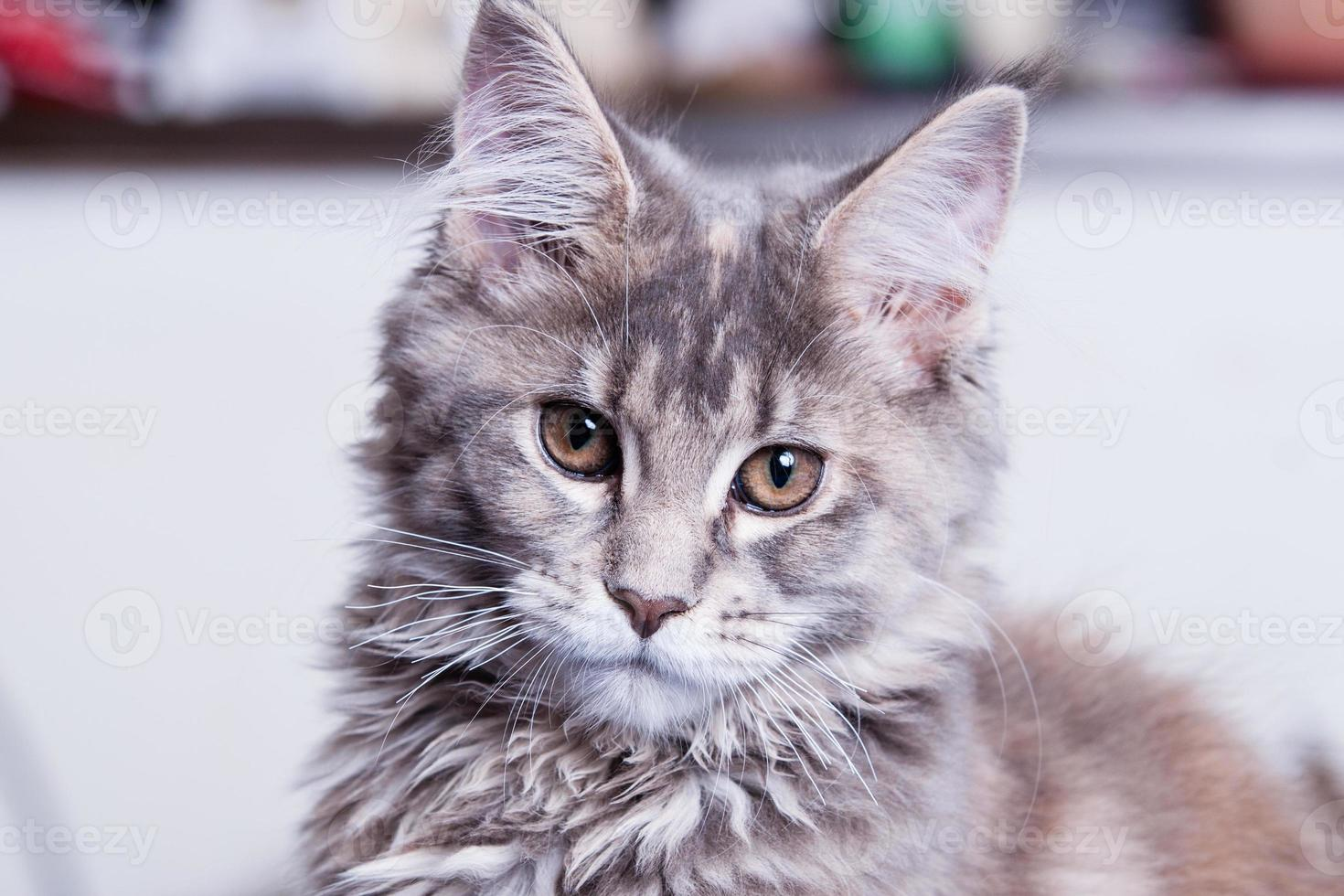 jovem gato maine coon foto