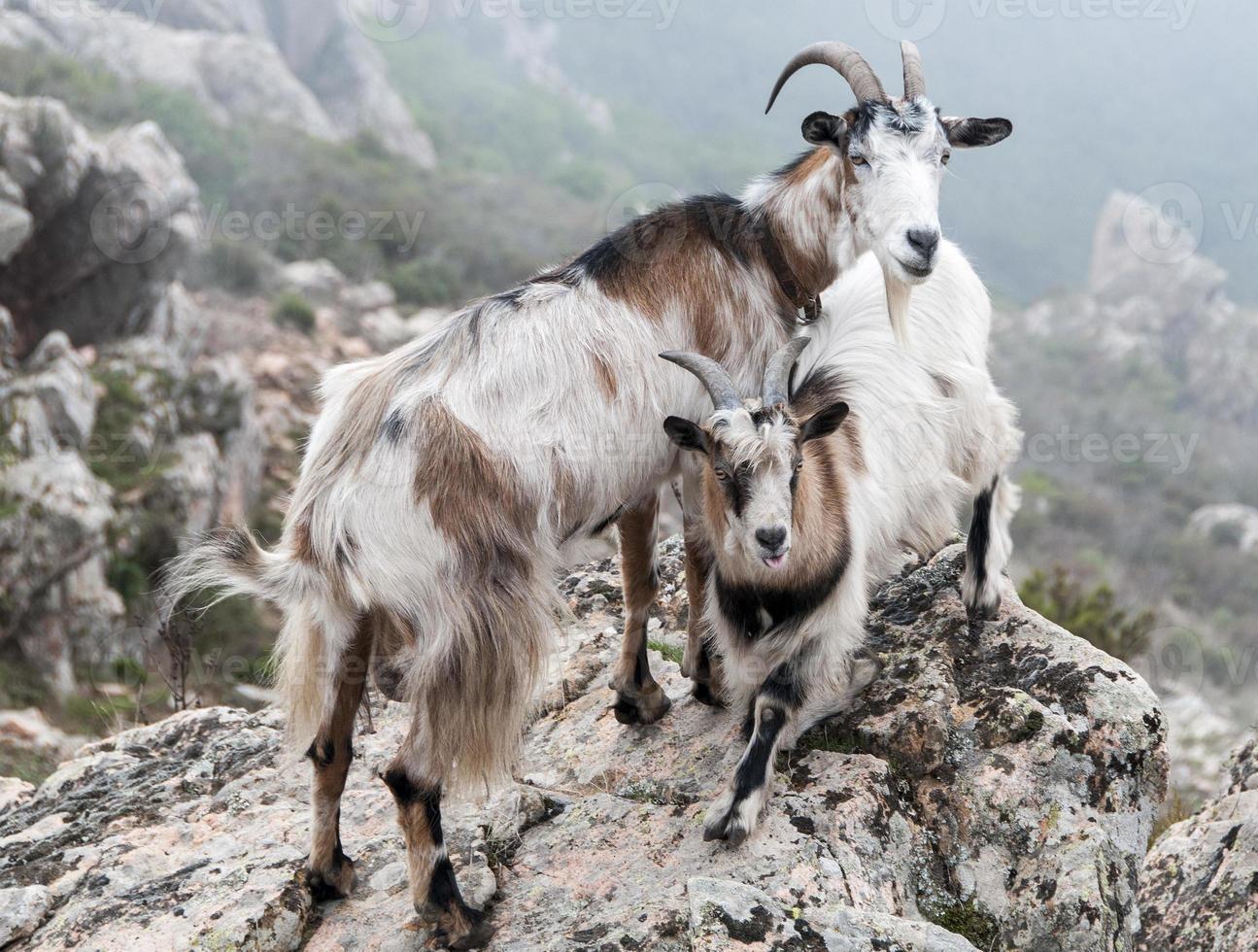 deux chèvres foto