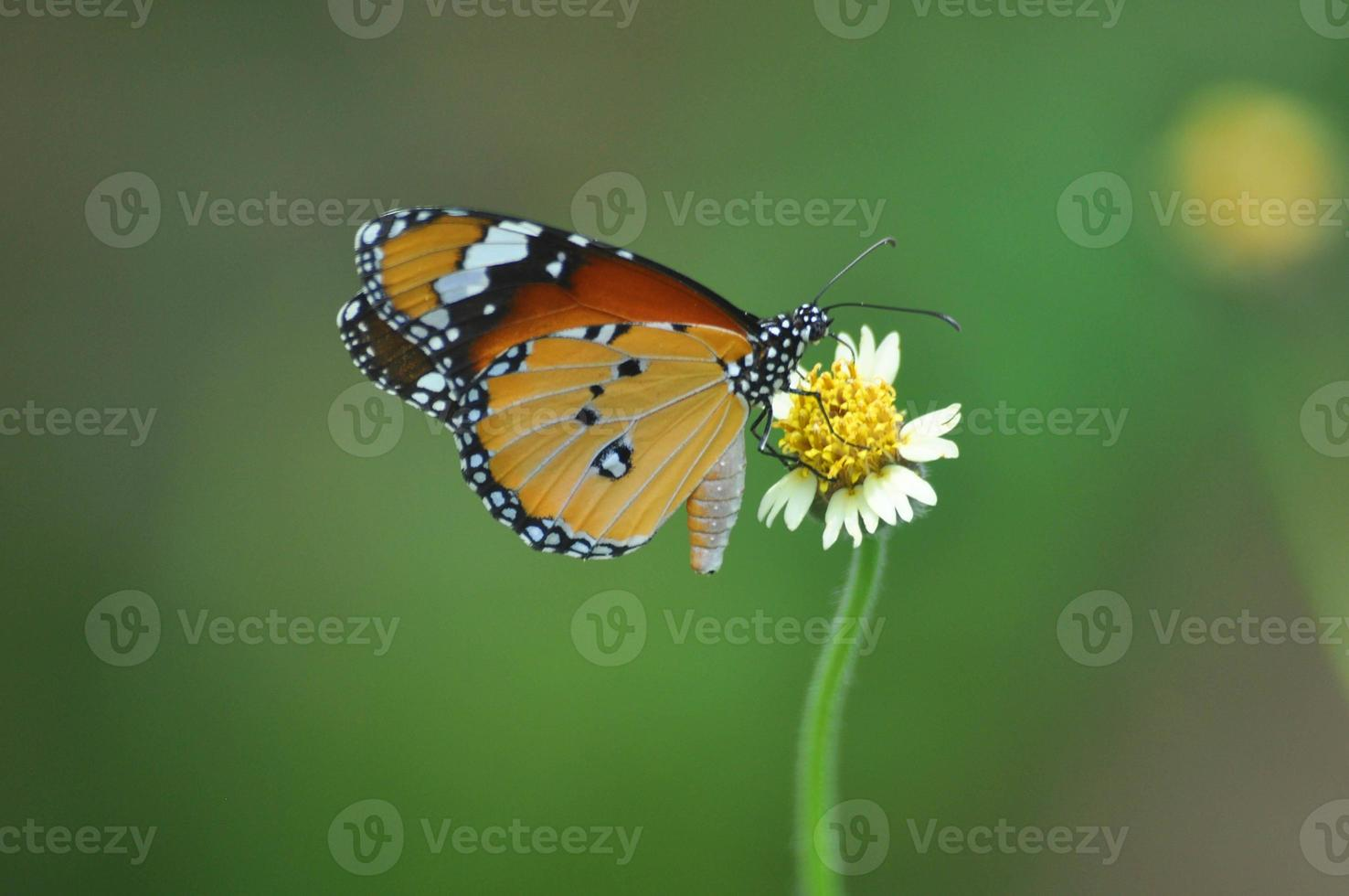 borboleta, lepidoptera, besouros, mariposa foto