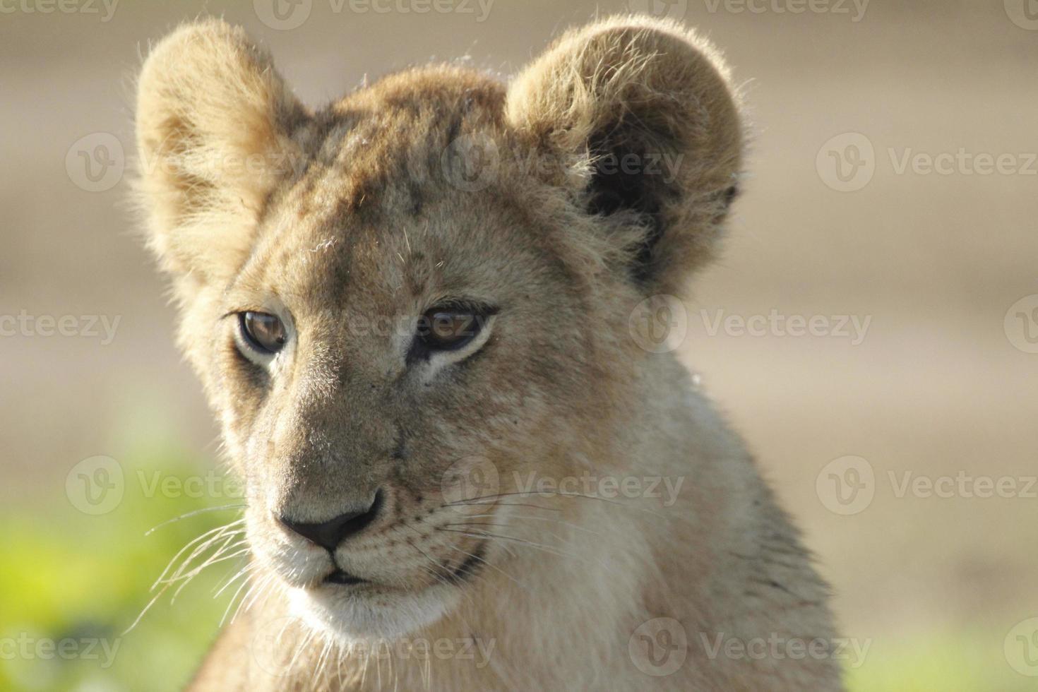 filhote de leão africano foto