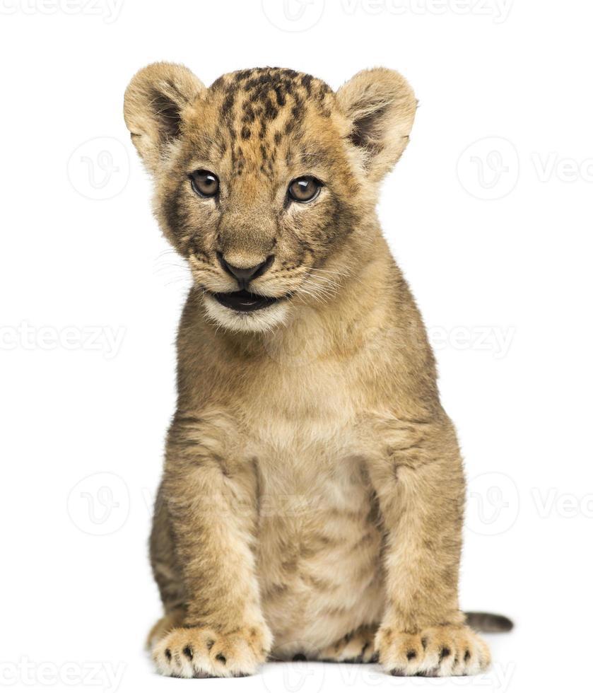 filhote de leão sentado, 7 semanas de idade, isolado no branco foto