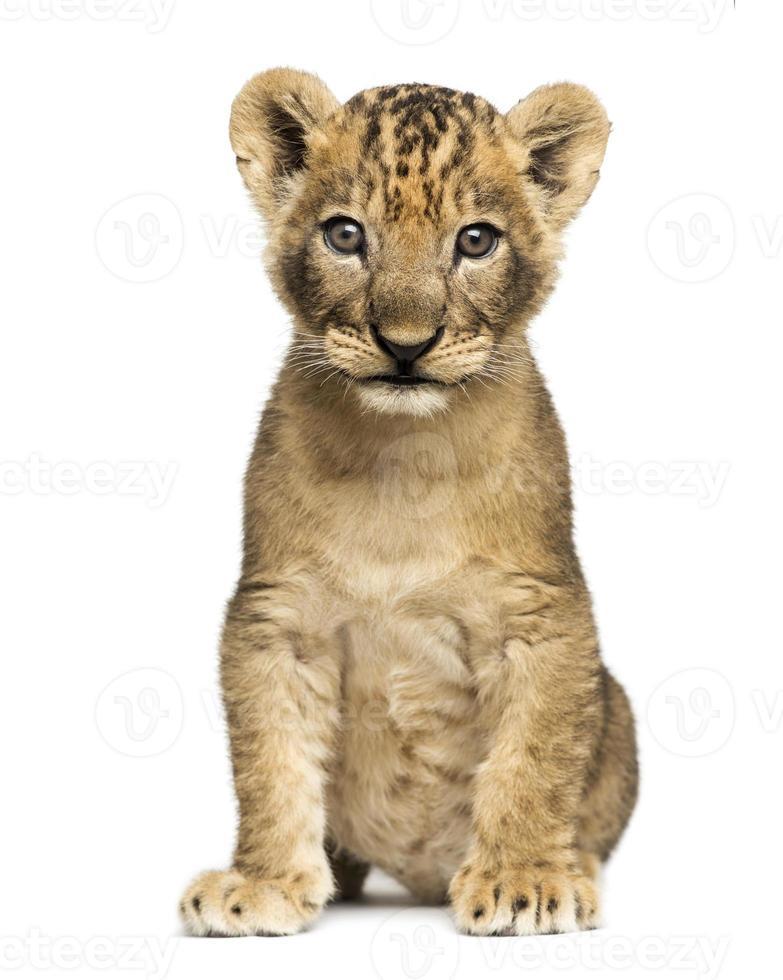 filhote de leão, sentado em um fundo branco foto