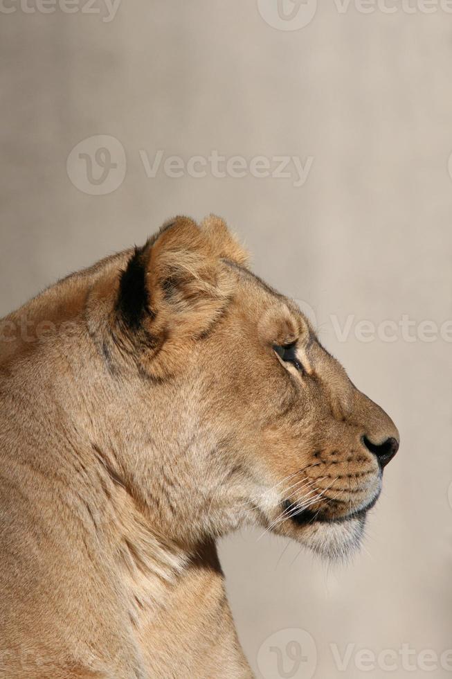 perfil de close-up de uma leoa africana foto