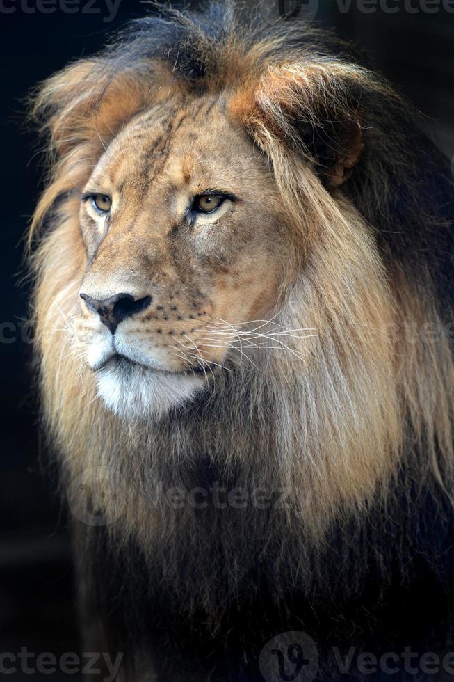 leão africano foto