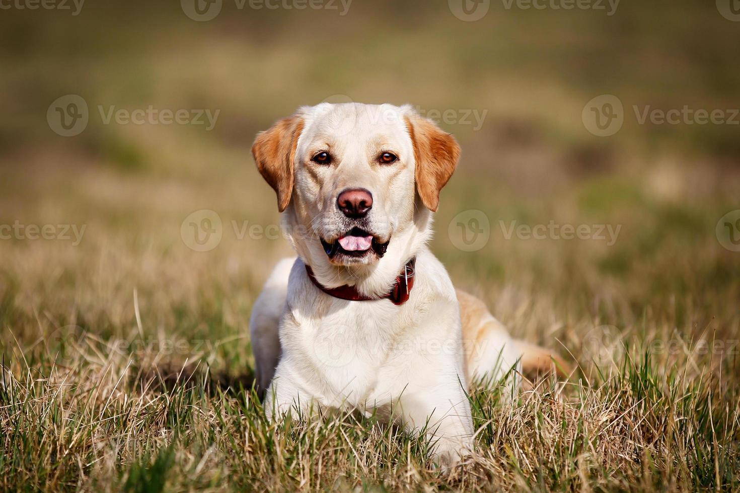 retriever dourado de pedigree, olhando para a câmera foto