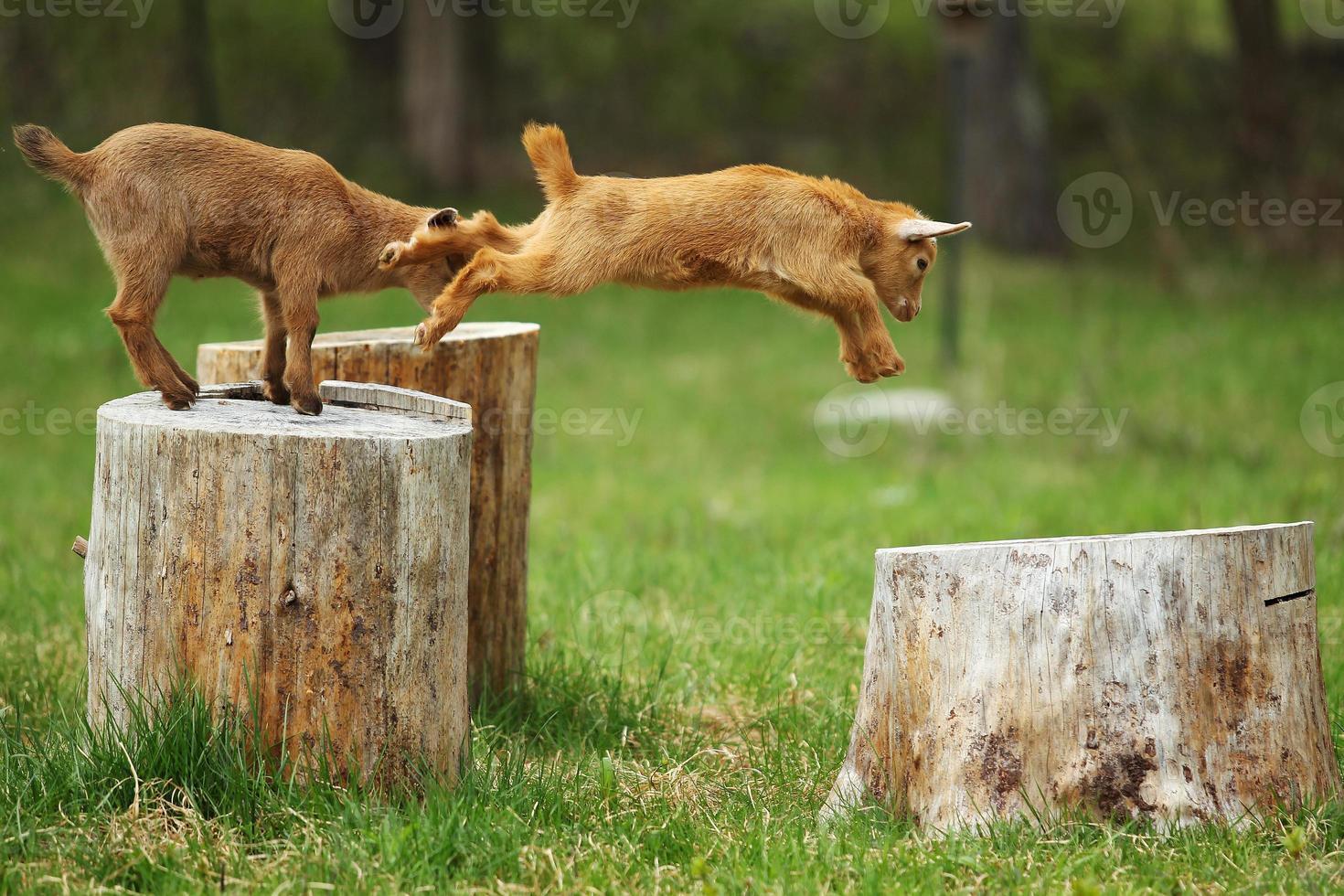 cabra pulando foto