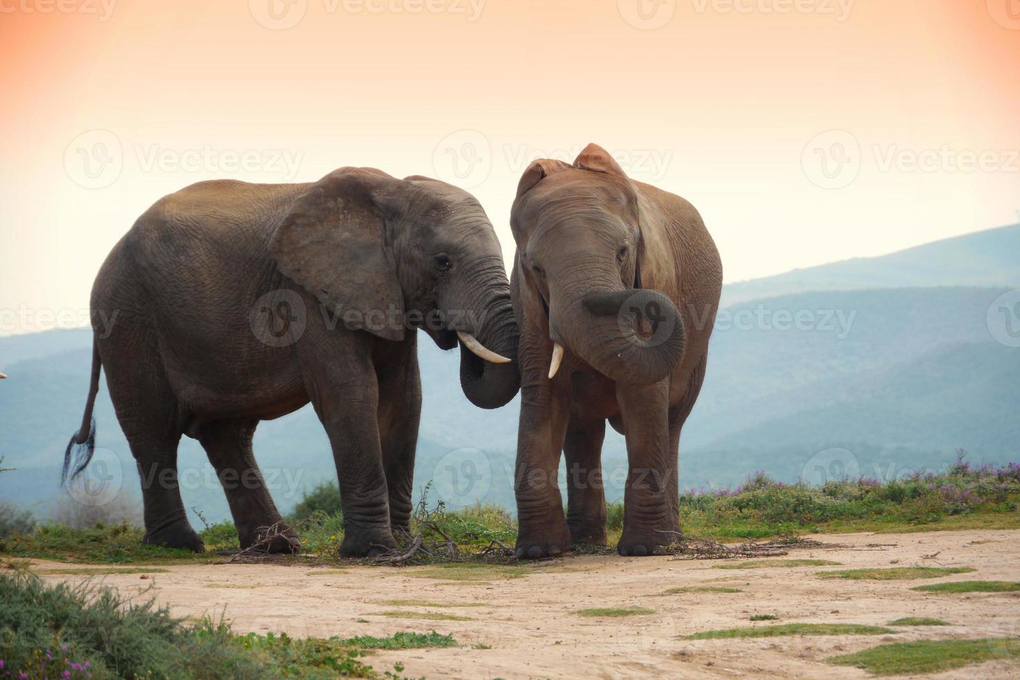 dois elefantes no addo elephant park, áfrica do sul foto