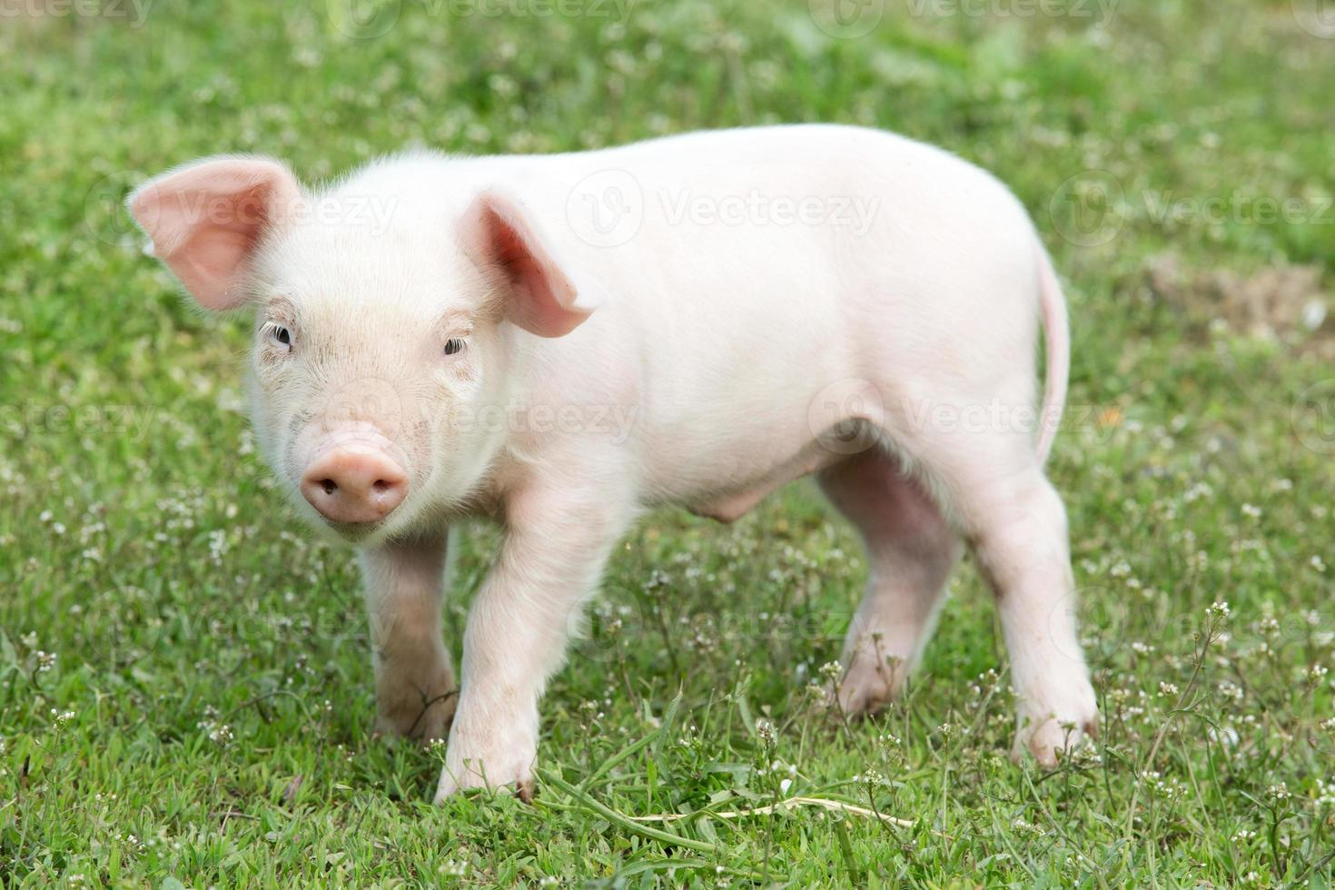 porco jovem foto