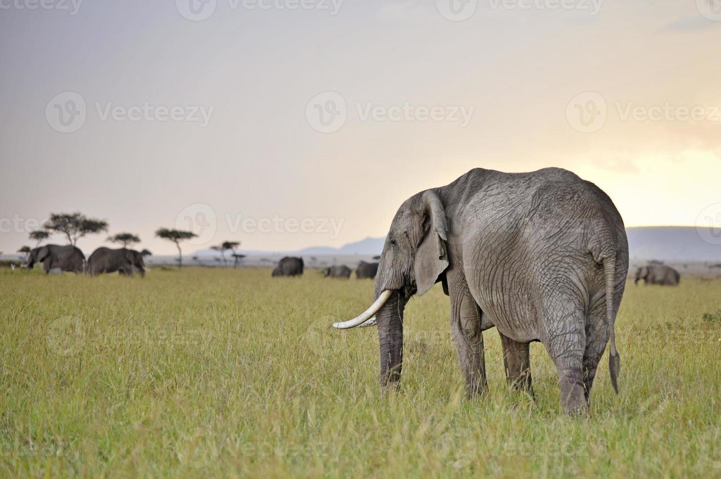 elefantes pastando no crepúsculo foto