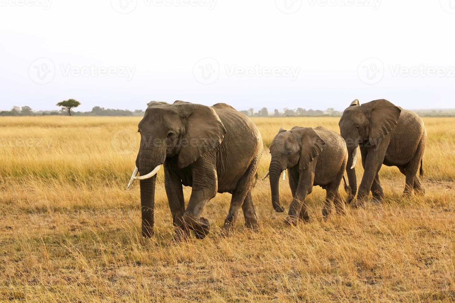 elefantes masai mara foto