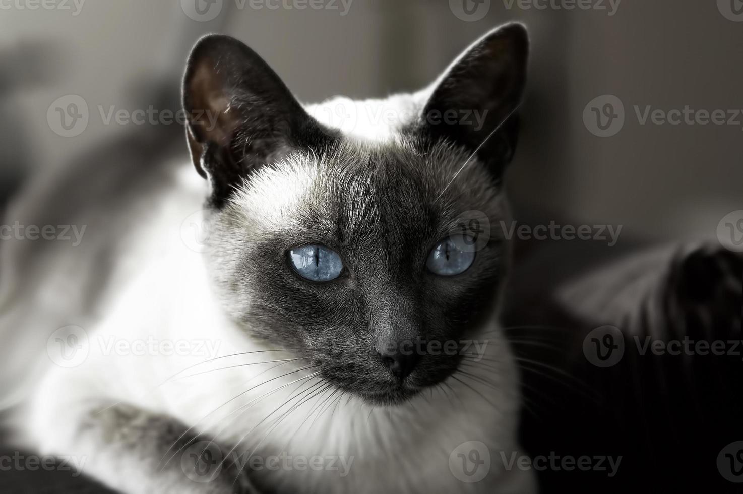 gato siamês de olhos azuis foto