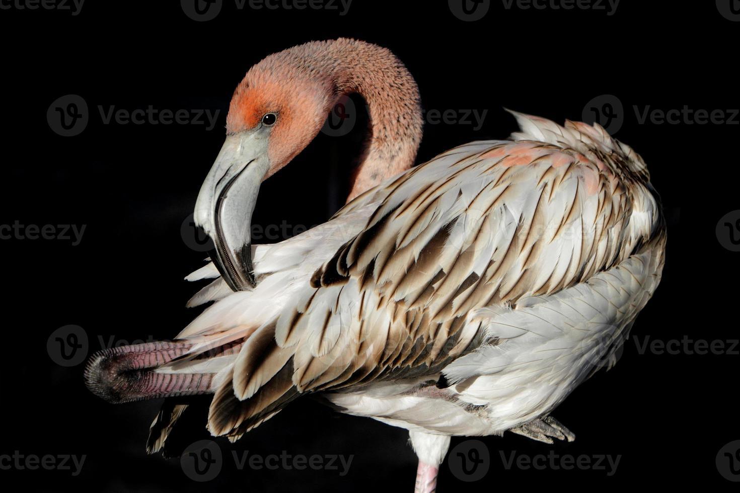 flamingo juvenil em fundo preto foto