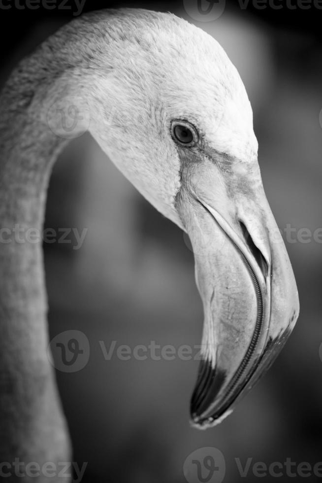 close de um rosto de flamingo - preto e branco foto
