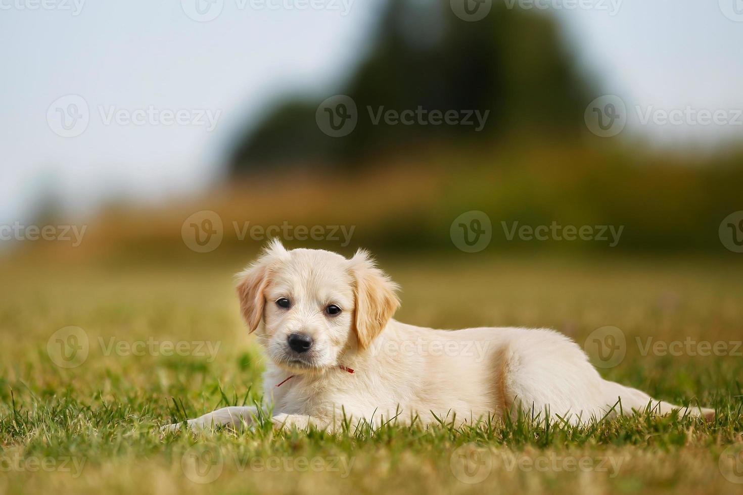 filhote de pedigree foto