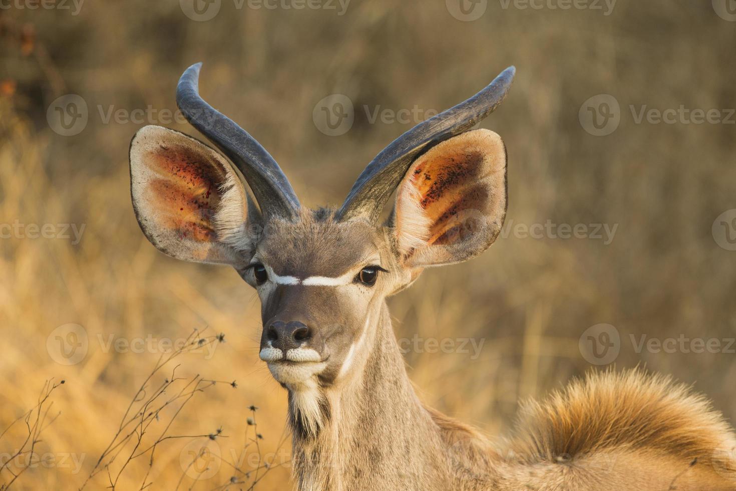 retrato maior feminino de kudu (tragelaphus strepsiceros) foto