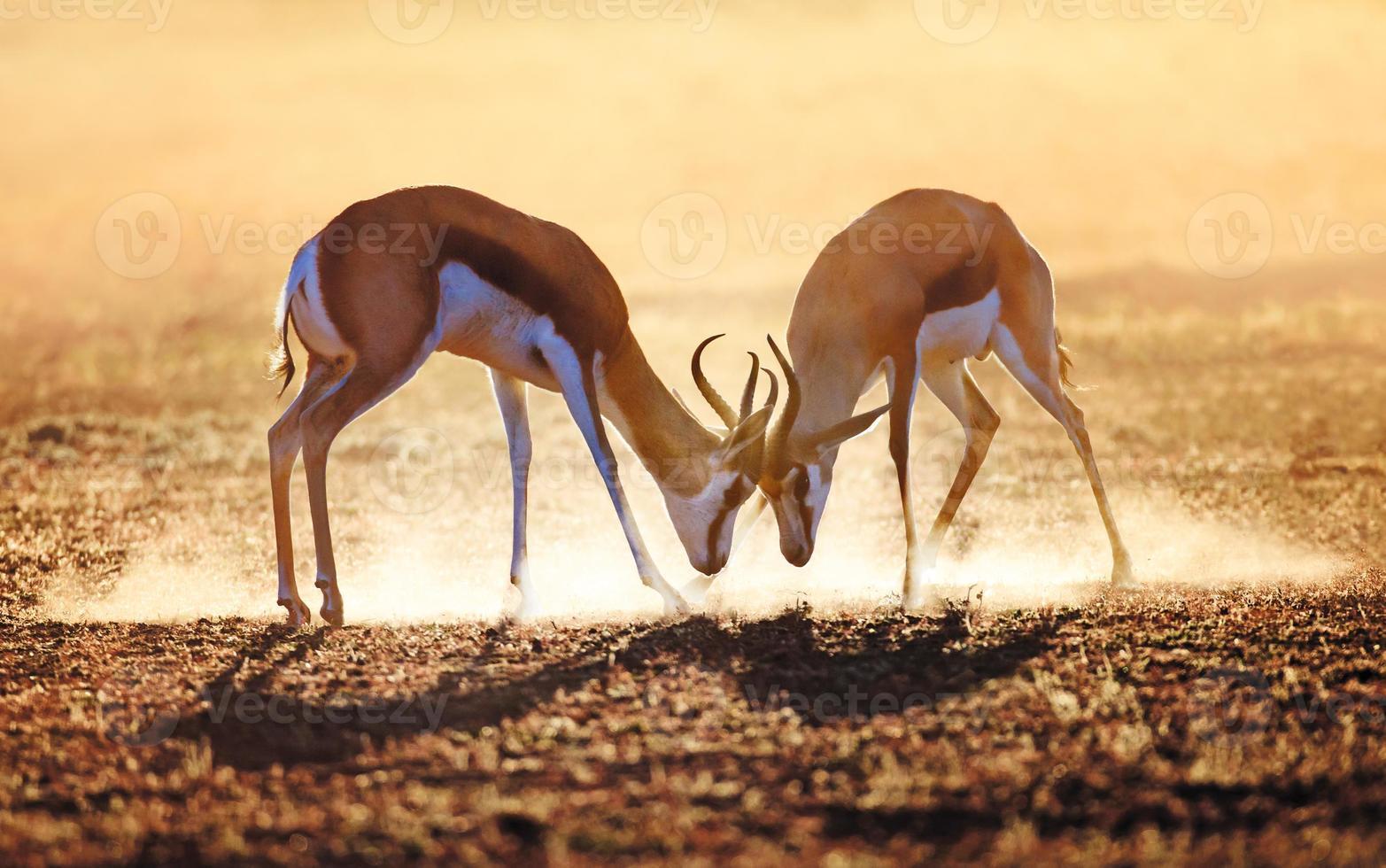gazela dupla em pó foto