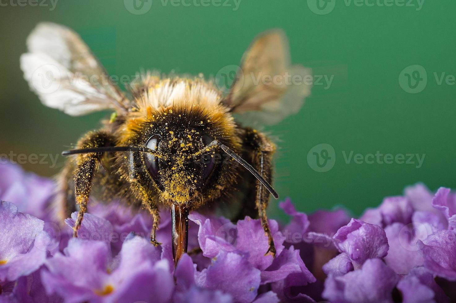 abelha coberta de pólen foto