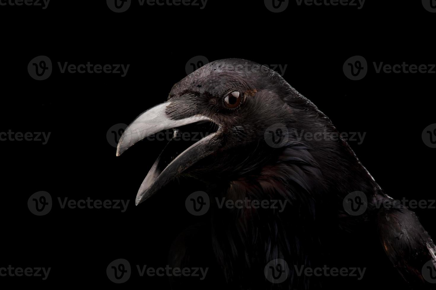 Corvo negro foto