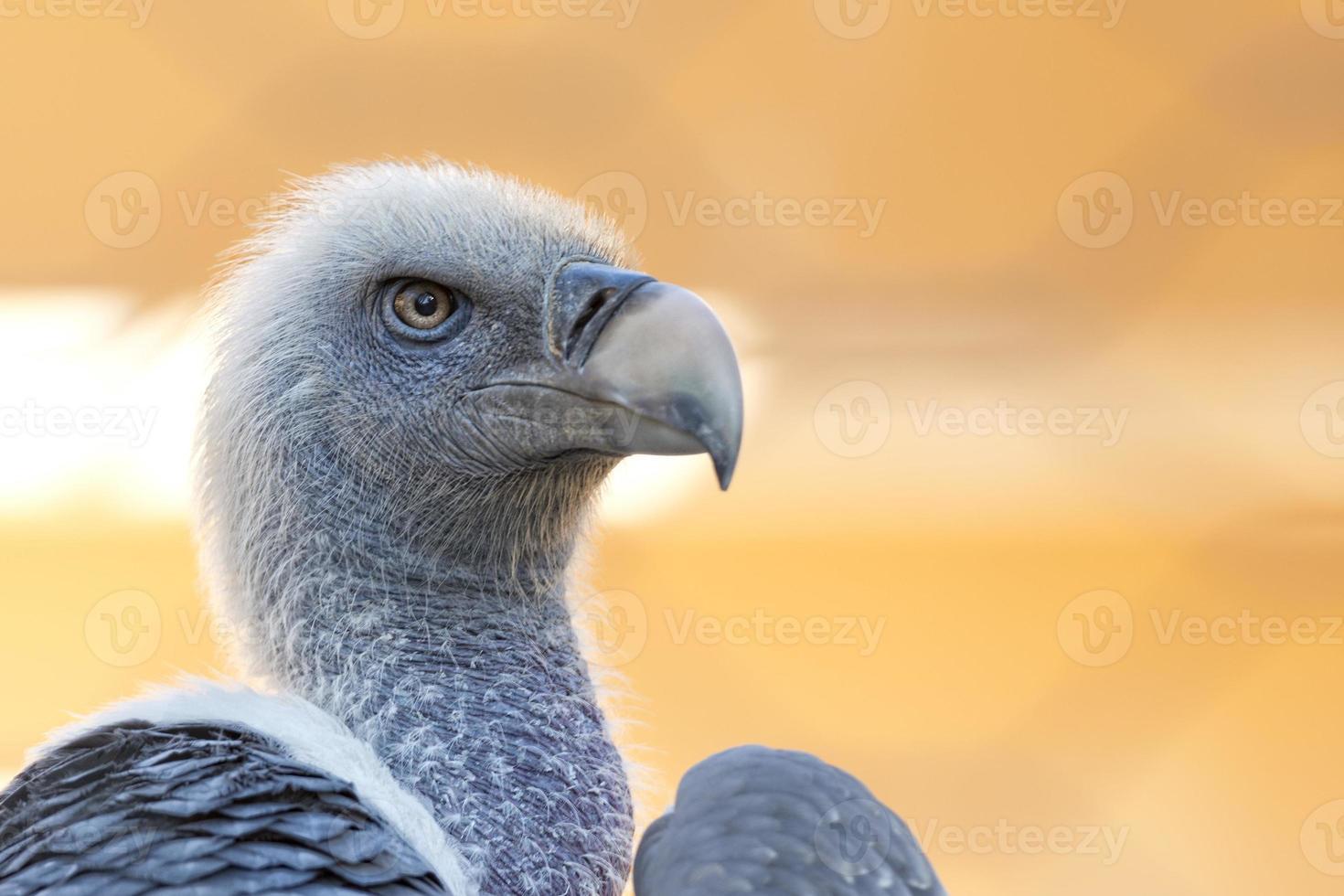 retrato de abutre, urubu, olhando para você foto