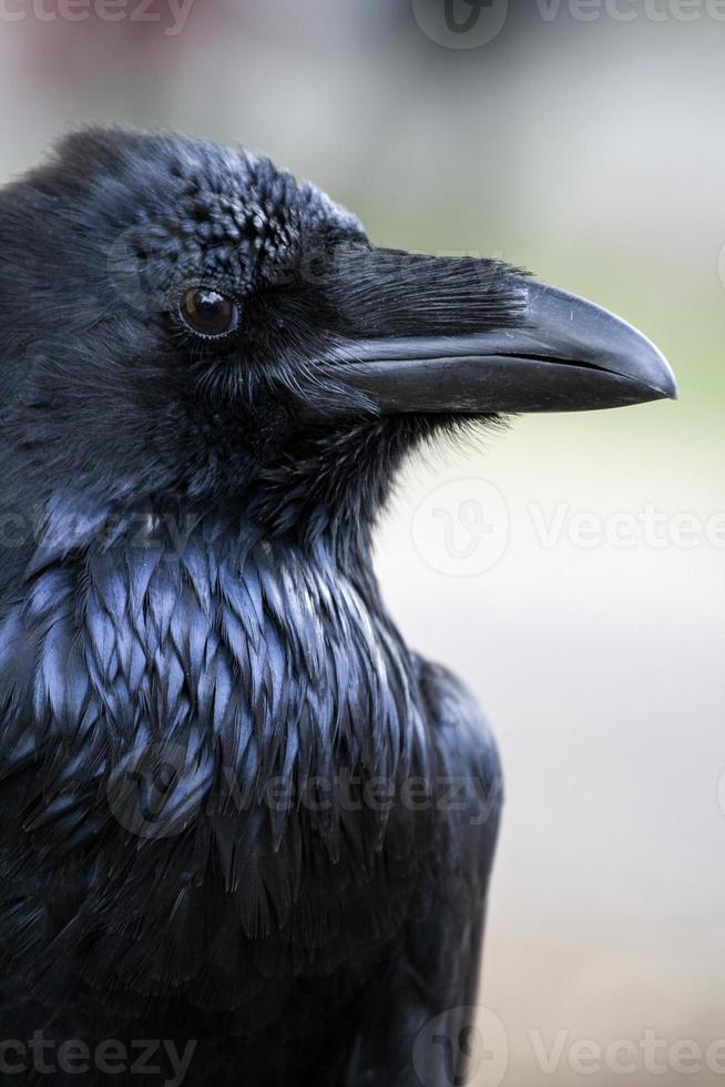 retrato de pé de corvo preto - corvo comum foto