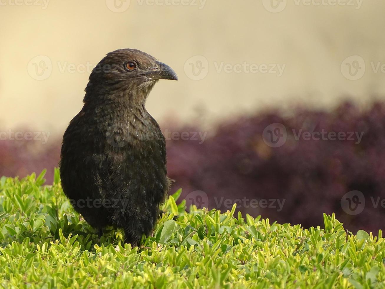 faisão de corvo (centropus sinensis) foto
