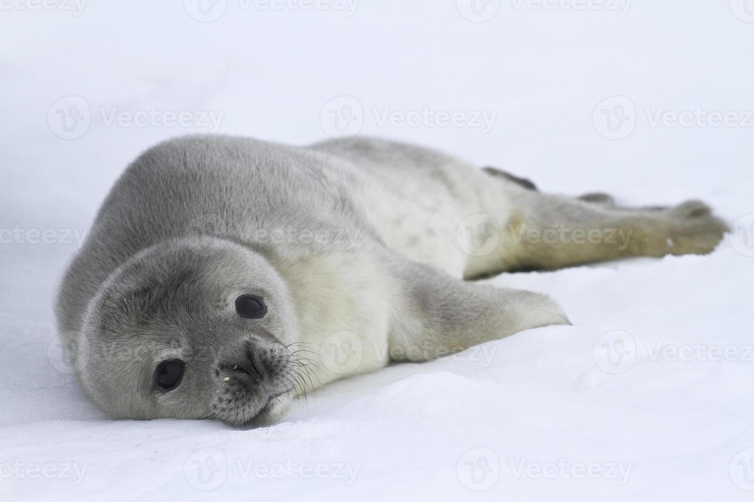 filhotes de focas weddell que se encontram no gelo foto