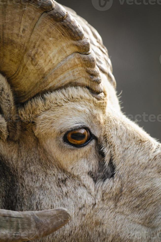 ovelha de montanha rochosa (ovis canadensis) foto