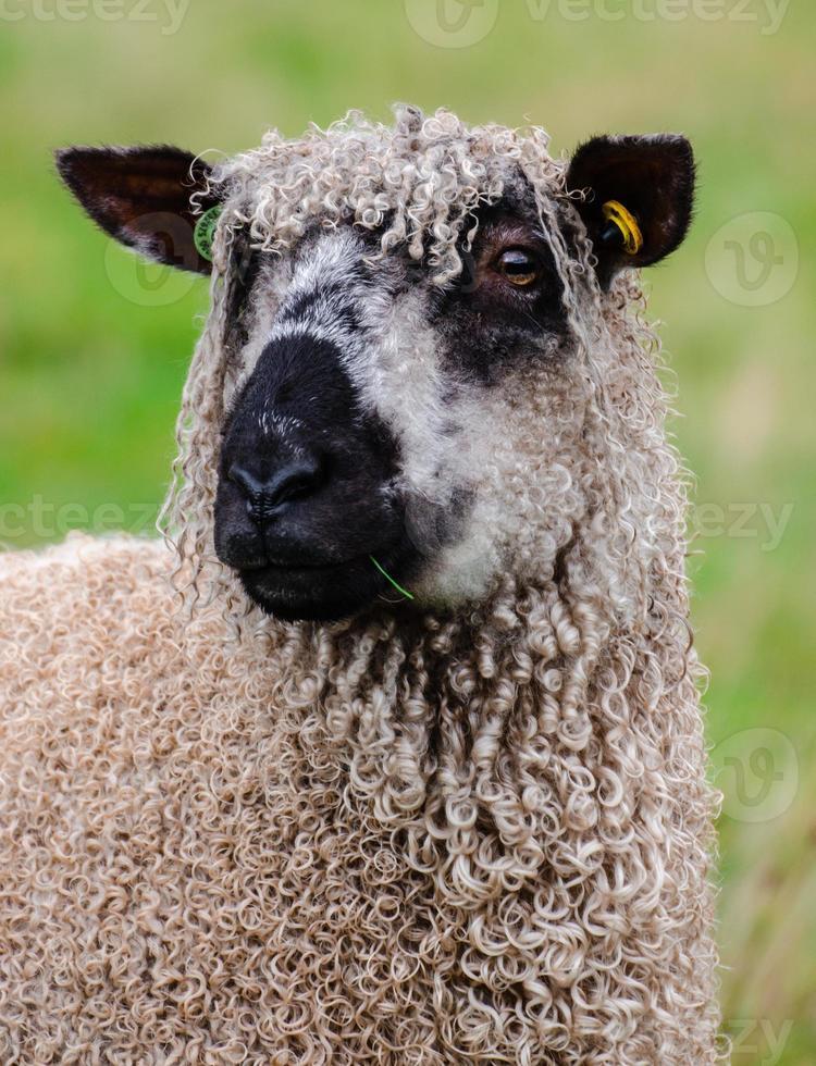 ovelhas wensleydale foto