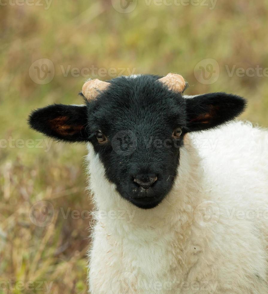 cordeiro de ovelha de rosto preto foto