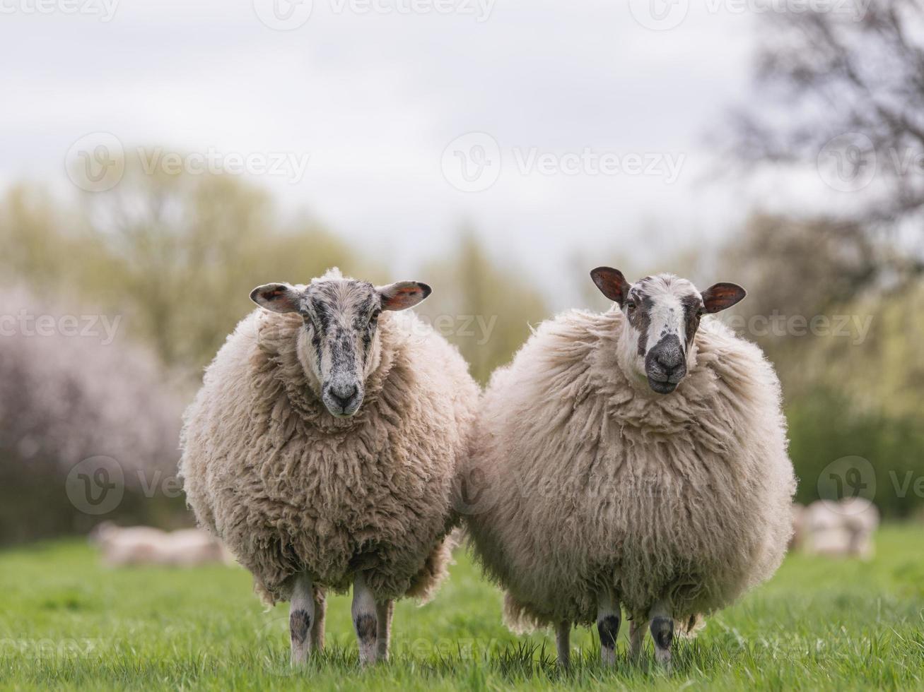 ovelhas em pé no Prado foto