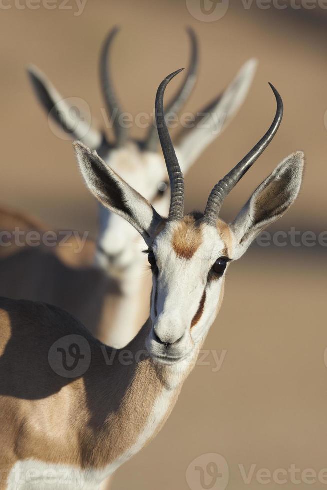 duo de gazela na luz do nascer do sol de kalahari foto